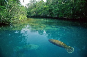 fls-1006-manatee-at-homosassa